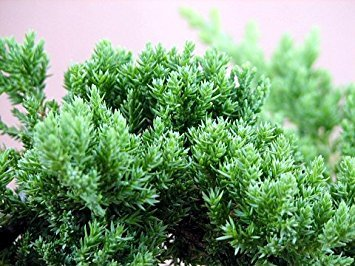 Japanese Juniper Bonsai Starter Tree - 4'' pot