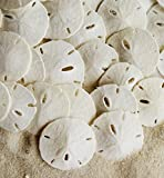 "Tumbler Home Small Natural White Sand Dollars 50 pcs - Wedding - Sea Shell Craft 1 1/4"" to 1 1/2"" - Hand Picked and Professionally Packed"