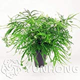 SOPHISTICATE 30 Bonsai Foliage Plant Bonsai, Pteris Cretica Linn sementes Bamboo Palm, Garden Foliage for Bonsai Bonsai
