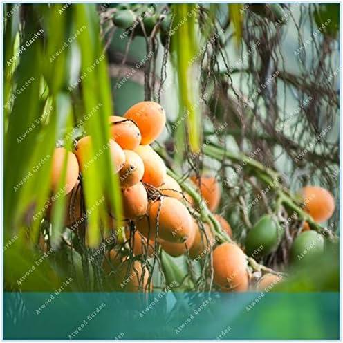 Ferry ZLKING Buy Areca Catechu Tree Semente 5pcs Plant Chinese Evergreen Tree Betel Nut