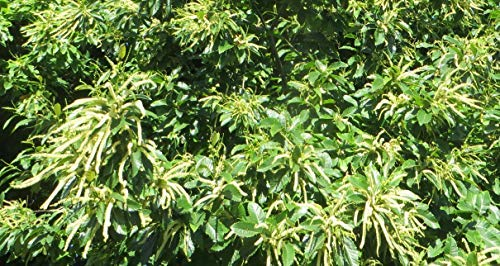 American Chestnut Tree - Hybrid - Castanea dentata X mollissima - Heavy Established - 2 Gallon Potted -1 Plant by Growers Solution by Grower's Solution (Image #3)
