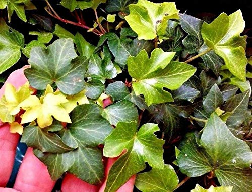 Plant Cuttings 10 Cuttings Ruffled Wavy Crested Hedera Helix Green English Ivy Vine Live Plant #Nll01yn by Nolaleo (Image #3)