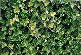 "Hirt's Baltic English Ivy 48 Plants - Hardy Groundcover -1 3/4"" Pots"