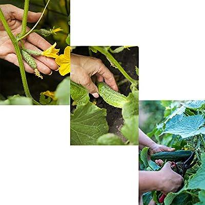 100 PCS Cucumber Seeds Organic Mini-Cucumber Snack Vegetable Fruit Seeds Perennial Hardy Easy to Grow for Garden Balcony/Patio : Garden & Outdoor