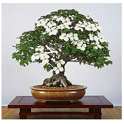 Bonsai 10 Seeds Live Flowering House Plant Indoor Houseplant Best Gift ()
