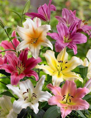 Orienpet Hybrid Lily Mixture