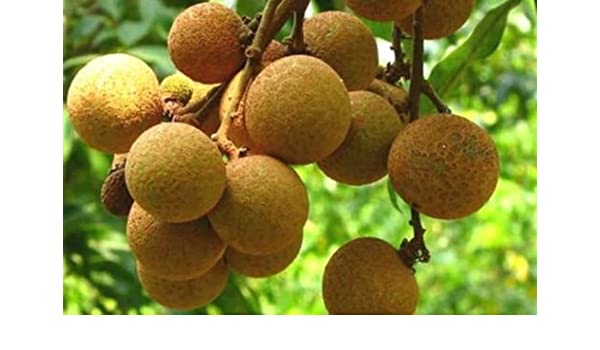Amazon com: Longan Fruit Tree (Kohala) Tropical Fruit Tree