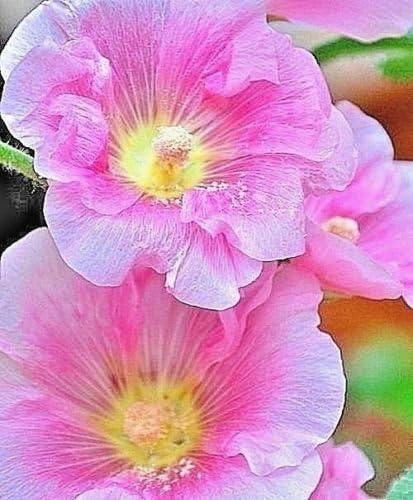 100 + Semillas ROSA BRILLANTE HollyHock Todo sola flor Viejo Jardín Moda favoritos: Amazon.es: Jardín