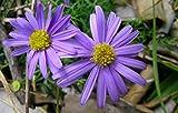 1000 seeds of Brachyscome 'Little Missy' Purple Flower