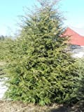 owzoneplant 12 Trees 2.5'' Potted Eastern Canadian Hemlock Hardy Established Heavily Rooted