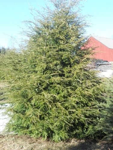 owzoneplant 12 Trees 2.5'' Potted Eastern Canadian Hemlock Hardy Established Heavily Rooted by owzoneplant (Image #5)