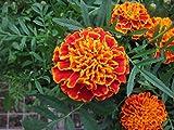 Tagetes patula: Marigold