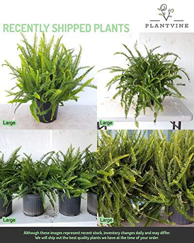 PlantVine Nephrolepis obliterata 'Kimberly Queen', Kimberly Queen Fern - Extra Large - 12-14 Inch Pot (7 Gallon), Live Indoor Plant by PlantVine (Image #4)