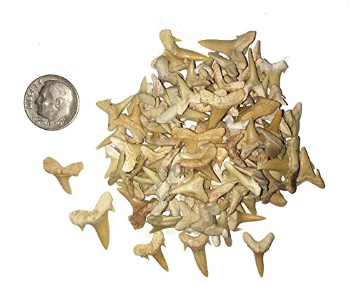 Prehistoric Teeth Shark (100 Fossilized Shark Teeth from Morocco)
