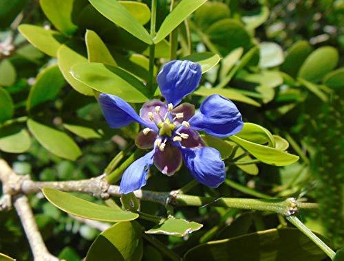 Lignum Vitae Tree of Life Rare Organic Guaiacum Sanctum 25 Seeds GBP - Lignum Tree Vitae