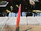 Flaming Sword Bromeliad plant.: Vriesea splendens