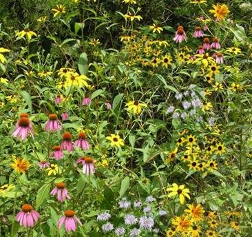 Woodland Edge/Part Shade Mix (Mix 134), 1 PLS Pound, True Native Seed by Roundstone Native Seed