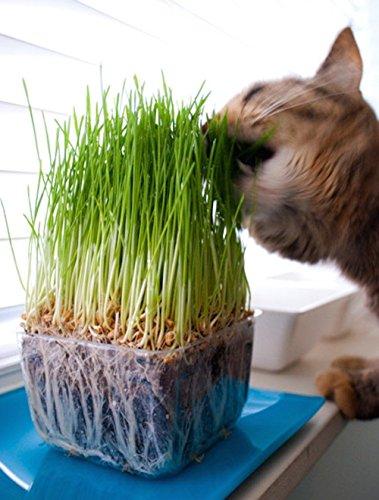 Catgrass Herb 900 Seeds Sweet Oats for Cats Indoor Outdoor Garden Home Houseplan (Cat 900 Seeds)