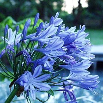 Amazoncom 3 Bareroot Blue Agapanthus Lily Of The Nile Garden