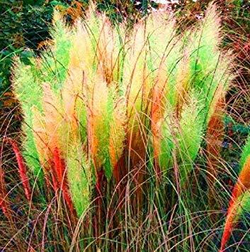 400 Seltene Lady Dekorative Sehr Sind Schã¶ne beutel Blumentopf Teile Garten Fash Pampas Blumensamen 1 Samen Reed Gras Gras d5qYdw6