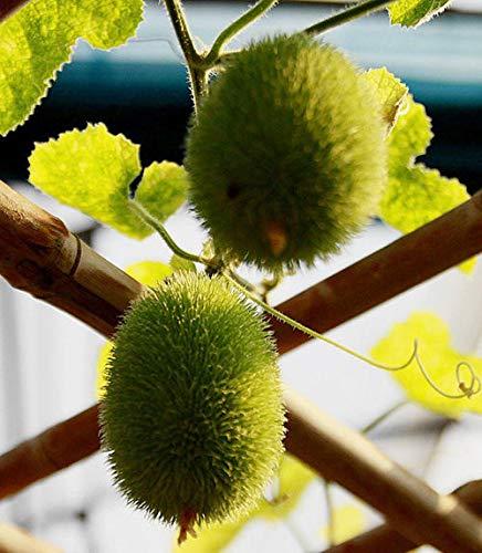 Portal Cool Los pepinos Decorativos de Semillas Semillas Cucumis ...