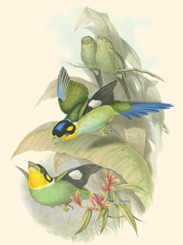 (Small Birds of Tropics I by John Gould Art Print, 8 x 10 inches)