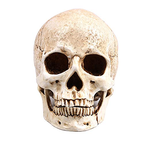 RMM White Head Human Skull Model Replica Medical Realistic Lifesize 1:1 Emulate Resin Crafts Skull for Decorative