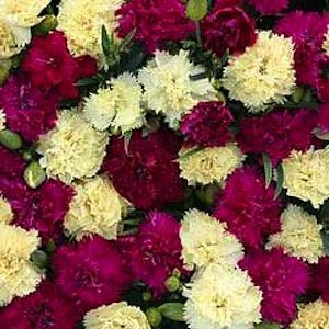 30+ Fizz Bananaberry Dianthus Carnation Flower Seeds / Perennial / Extremely Fragrant