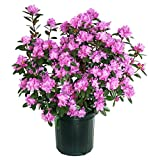 PJM Elite Rhododendron, purple flowering plant in 2 Gallon pot