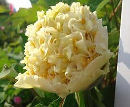 China Peony Root Variety Flower Double Petal Paeonia Suffruticosa Tree Bulb Corm