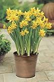 """Daffodil Tete a tete, 8""""Hx6""""W, YELLOW"""