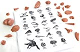 Fossil Kit, Basic Set of 21 Fossils