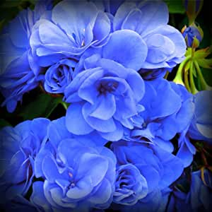 Rose Blue Geranium Flower Seeds GMO Free - Treasuresbylee Exclusive