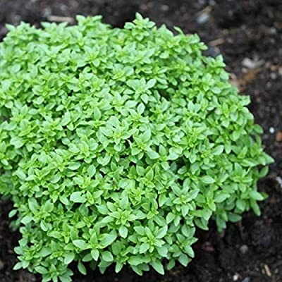 Spicy Globe Basil Seeds (20 Seed Pack) : Garden & Outdoor