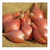 David's Garden Seeds Shallot Conservor SL2703 (Purple) 100 Non-GMO, Hybrid Seeds