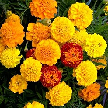 Amazon french marigold dwarf seeds petite mix packet french marigold dwarf seeds petite mix packet redorange mightylinksfo