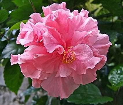 Vpn Healthy Beautiful Hibiscusgudhal Pink Double Flower Plant