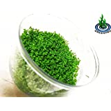 Dwarf Baby Tears Hemianthus Callitrichoides Java Moss Live Aquarium Plants Freshwater Fish Tank Vitro TC Cup by Greenpro