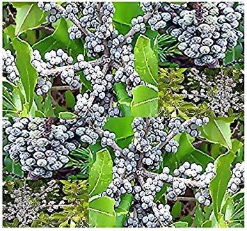 Farmerly 15 Seeds - Northern Bayberry Shrub Seeds - Myrica Pensylvanica