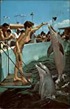 Performing Porpoises being rewarded at Miami's fabulous Seaquarium Original Vintage Postcard offers