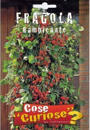 200 semi di Fragaria versa ** fragola rampicante