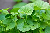 200 Centella asiatica Indian pennywort Gotu kola Seeds