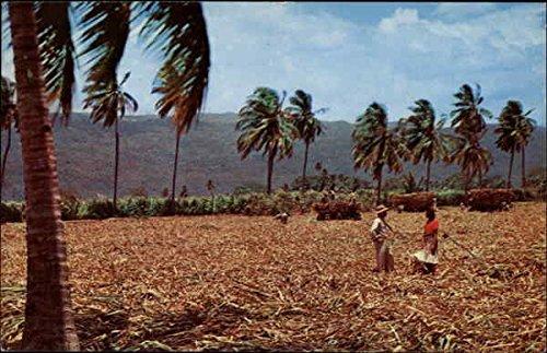 Harvesting Sugar Cane Jamaica Original Vintage Postcard ()