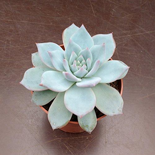 Echeveria Blue Bird - 1 Cutting (unrooted) CactusPlaza.com