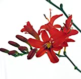 Lucifer Crocosmia - Very Hardy - Deer Resistant - Gallon Pot