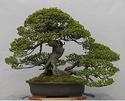 Amazon Com Bonsai Tree Japanese Black Pine Seeds 20 Seeds To Grow Must Have Bonsai Specimen Garden Outdoor