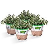 Bonnie Plants German Thyme (4 Pack) Live Plants