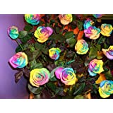 NooElec Seeds India E Garden Rainbow Rose Imported Flower Seed
