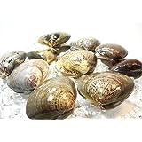 殻付 はまぐり L サイズ 500g 約10個から15個 【 蛤 / ハマグリ 】冷凍品