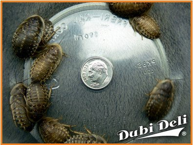 Dubia Roaches: Extra Large (1.25'') - 109 grams (average count 100) by Dubi Deli